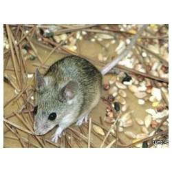 烟台开发牟平区灭老鼠/防鼠/抓鼠/逮鼠  老鼠粘板专业灭鼠