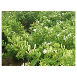 安庆金银花种苗木多少钱盛涵供