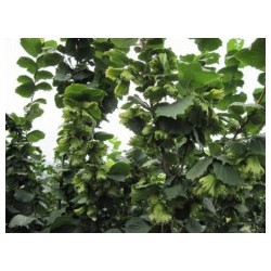 榛子树价格-供应辽宁高质量的大果榛子苗