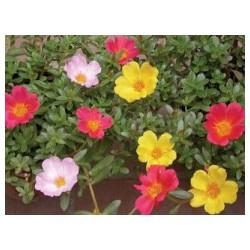 太阳花出售-供应潍坊合格的太阳花