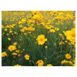 【向度娘提问】金鸡菊价格+金鸡菊种植基地+金鸡菊供货商